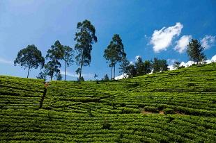 Plantation de thé durant notre circuit le Grand tour du Sri Lanka